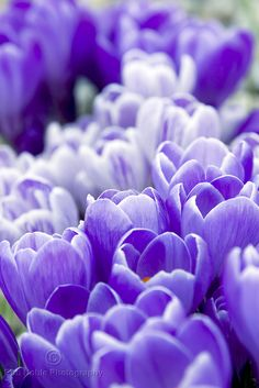 Pretty Purple Crocus Flowers