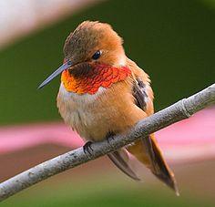 colibri rufo