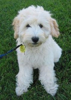 "He is a tiny goldendoodle owned by the Patty family. Pam says ""Chase is from Georgie and Star 11/08 Male #3 - he is a darling little guy that keeps ..."