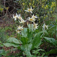Wie in einem Elfengarten: der weiße Hundszahn (Erythronium revolutum 'White Beauty') wächst gerne an schattigen Orten. Er blüht im Frühling und wird im Herbst als Blumenzwiebel gepflanzt - online bestellbar bei www.fluwel.de