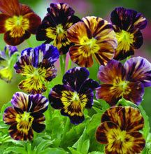 Brush Strokes Viola  Fascinating blooms are streaked in intense shades of violet and purple, glowing brilliant yellow near the centers. Brush Strokes brings a faint, sweet fragrance to containers and garden borders. Performs best in partial shade and where soil is moist but well drained.