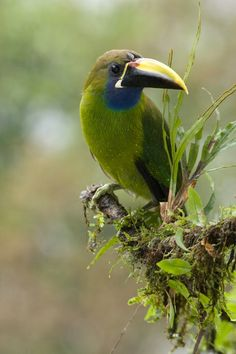 Rain forest Toucanet > by Yehudi Hernandez