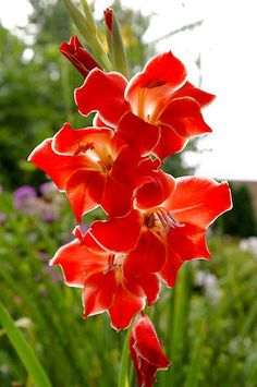 "Glads Flowers | The red flowers of the red gladiolus ""Atom"" are a hummingbird favorite./ ATTRACTS: Hummingbirds. Red or yellow is best."