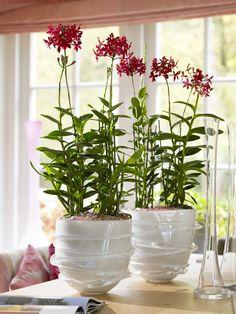 Epidendrum orchidee op tafel