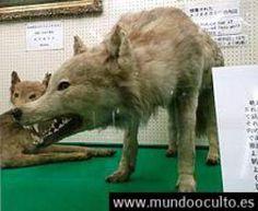 Leyendas del norte el Lobo de Hokkaido
