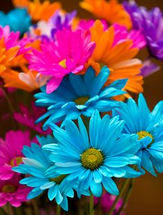 Colorful daisies | by Mark Chandler Photography