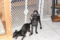 JOSEPHINE Rescue Puppies, Italian Greyhound, Adoption, Dogs, Animals, Foster Care Adoption, Animales, Animaux, Pet Dogs