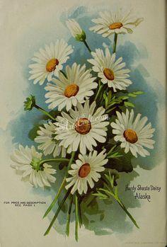 seeds_catalogs-06154  Daisy Hardy Shasty Daisy Alaska Bellis