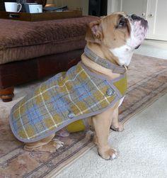 Bentley the British bulldog modelling his mustard and blur tartan Harris tweed dog coat