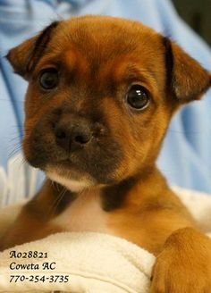 A-9 EXTREMELY URGENT! *COWETA COUNTY ANIMAL CONTROL, NEWNAN, GA 770-254-3735*   Breed: Terrier Mix Sex: Male  Age: Baby (6 weeks per shelter notes)  Size: Medium Weight: 4 lbs ID: A028821 Shelter Name:  Vaccinated PLEASE CONTACT COWETA COUNTY ANIMAL CONTROL TO ADOPT THIS PET: 770-254-3735. The address is 91 Selt Road, Newnan, GA. This tiny little baby DESPERATELY needs a safe and loving home. The shelter is no place for tiny babies.