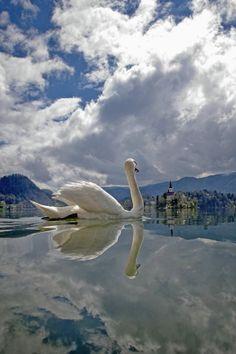 Swan on Lake Bled, in Slovenia. Beautiful fantastic angle.