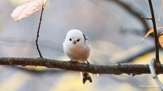 Photos of Long-tailed Tit (Aegithalos caudatus) | the Internet Bird Collection (IBC) | HBW Alive