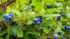 5 likvidačních chyb, kterých se můžete dopustit při pěstování kanadských borůvek. Boho, Fruit, Plants, Bohemian, Plant, Planets