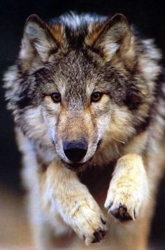 Jumping wolf - Explore the World with Travel Nerd Nici, one Country at a Time. http://TravelNerdNici.com
