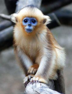 Golden Snub-Nosed Monkey.