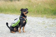 [LET'S BE ADVENTUROUS] [www.buddyandme.de] Pinscher Buddy, Buddy and Me, Hundeblog, Dogblog, Produkttest, Erfahrungen, Alcott Adventures, Hunderucksack, Explorer Abenteuer Rucksack, Wandern mit Hund, Tipp, Hundezubehör, Test