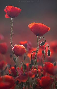 Poppy Flower 33 Today, poppies have been linked with Flanders fields as an emblem of people who died in World War I. Maintaining knowledge of these essential facts about how to grow poppies is critical. Plant Oriental poppy where you desire it.