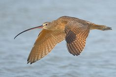 """The Long-billed Curlew (Numenius americanus) is a large North American shorebird of the family Scolopacidae. This species was also called """"sicklebird""""[2] and the """"candlestick bird"""". The species is native to central and western North America. In the winter, the species migrates southwards, as well as towards the coastline."""