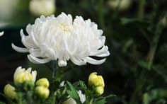 Tumbuhan obat dan sains khasiat ganyong hutan si bunga tasbih discover ideas about valentines ccuart Gallery