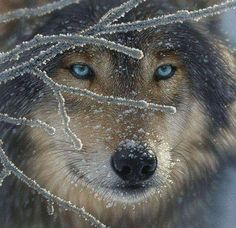 Wolf with hybrid breeding in his background. wolves eyes are naturally an intense, amber-gold, that stares right through you they don't often have that big a ruff either. But the Siberian Husky blood may give him some hybrid vigor and better understanding of Man's evil nature toward him.