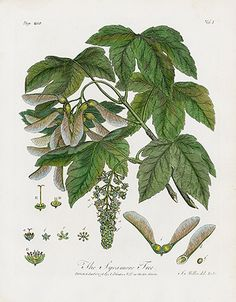 John Evelyn Sylva, Discourse of Forest Trees 1786