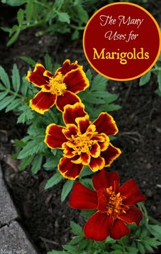 Uses for Marigolds - Garden to Kitchen to Crafting and more (beautiful flowers garden tips) Marigolds In Garden, Growing Marigolds, Growing Herbs, Garden Plants, Planting Flowers, Garden Care, Beautiful Flowers Garden, Pretty Flowers, Marigold Flower