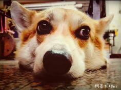Uni My Animal, Uni, Doggies, Corgi, Animals, Animales, Animaux, Pet Dogs, Corgis