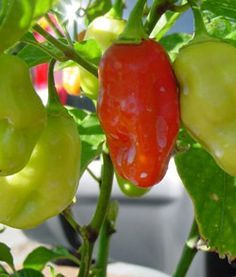 Growing Habanero Pepper Plants