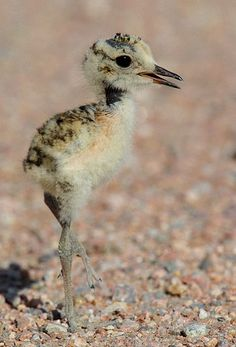 Mountain Plover chick