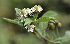 lippia javanica - Google Search Small Shrubs, Water Wise, Flowering Shrubs, Evergreen, White Flowers, Perennials, Herbs, Fairytale, Plants