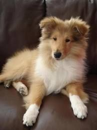 collie pup...how beautiful and sweet :)