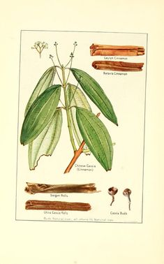 "Healing Herbs and Spices: Cinnamon.In Ayurveda, it is known as ""dalchini"" and is used in many ayurvedic herbal preparations. It is believed to pacify the cold Vata dosha as well as regulate the metabolism of sugars and fats in the Kapha dosha Botanical Drawings, Botanical Illustration, Botanical Prints, Plant Illustration, Herbal Remedies, Natural Remedies, Health Remedies, Cassia Cinnamon, Cinnamon Tea"