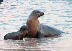 Lachtan mořský Animals, Animales, Animaux, Animal, Animais