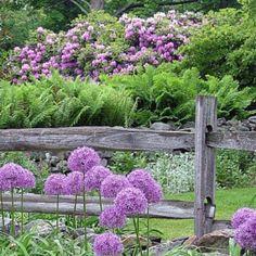 allium and lilacs....