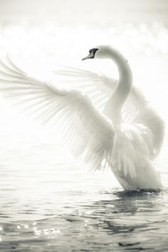 The world's most pure animal: the White Swan