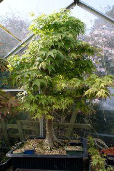 Ian S Bonsai Trees Por Mariusz And