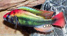 "(1)  Haplochromis sp. ""Ruby cichlid"" 1.25 inch African Cichlid Live fish"