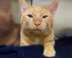 """CLOUDY - A1083335 - - Manhattan   ***TO BE DESTROYED 08/10/16***CLOUDY WILL BRING BLUE SKIES TO ANY DAY–LOVING, YOUNG GINGERBREAD MAN NEEDS YOU! Whoever dumped one year old, Cloudy at the shelter back on 7/29/16 was a real piece of work. When asked about this precious boy's purrsonality, the person replied, """"I have no idea."""" Ugh!!! Cloudy was one of several kitties who came in as part of a hoarding case. Cloudy came in purrfectly healthy and how that this lovely"""