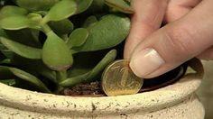 Crassula jadeplant para çiçeği evinize iyi şans bereket getirir. Evin girişinin sağına ve kuzeye bakacak şekilde koyun. Dibi kuruyunca az su verin.
