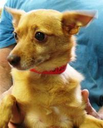 Ireland is an adoptable Chihuahua Dog in Daytona Beach, FL.  ...
