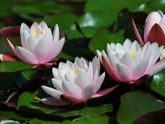 http://3.bp.blogspot.com/-tuujWSwUoMI/TnjrTXhTT7I/AAAAAAAAAJU/eWsl892y7P4/s1600/flores-de-lotus-898ac.jpg