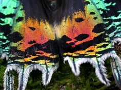 African Sunset Moth Chrysiridia croesus - Moth Information Sheet Beautiful Bugs, Beautiful Butterflies, Amazing Nature, Moth Wings, Insect Wings, Butterfly Photos, Butterfly Wings, African Sunset, Orchid Color