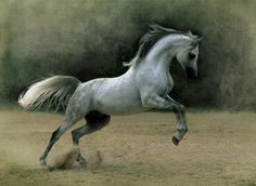 Grey horse                                                                                                                                                                                 More