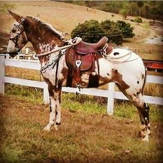 A mule who appears to be half Appaloosa horse All The Pretty Horses, Beautiful Horses, Mules Animal, Animals And Pets, Cute Animals, Strongest Animal, Cowboy Horse, Appaloosa Horses, Horse World
