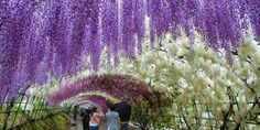 Japan Has Got To Be The Most Beautiful Place On Earth Right Now | The Huffington Post http://www.huffingtonpost.com/entry/japan-wisteria-festival_us_58e67d64e4b05894715ed352