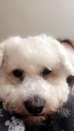 Skyler #Bichon Maltese mix # beautiful