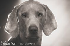 Photographs by Severine Photography. Rim Light, Weimaraner, Dog Photography, Photographs, Portrait, Dogs, Pictures, Animals, Design