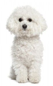 Breed Spotlight: Bichon Frise! Learn about this dog's history and great disposition! #bichonfrise #greatdogs #cutedogs #dogs