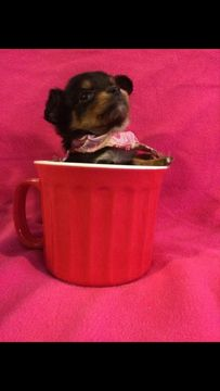 Chihuahua Puppy For Sale In Pittsburgh Pa Adn 31259 On
