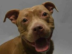 SAFE - 12/27/15 - CHYNA - #A1060714 - Urgent Brooklyn - FEMALE BROWN/WHITE AM PIT BULL TER MIX, 2 Yrs - OWNER SUR - ONHOLDHERE, HOLD FOR ID - Reason NO TIME -Intake 12/16/15 Due Out 12/16/15